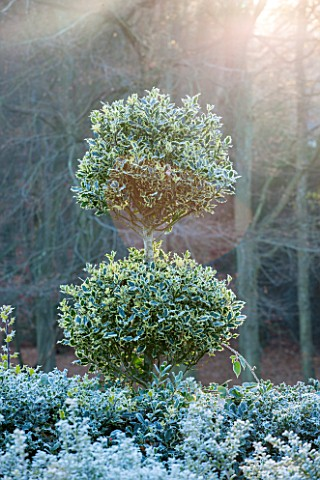 HIGHFIELD_HOLLIES_HAMPSHIRE_ILEX_CRENATA_HOLLY_HEDGE_WITH_CLIPPED_TOPIARY_LOLLIPOP_ILEX_AQUIFOLIUM_A