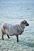HIGHFIELD HOLLIES, HAMPSHIRE: WINTER - CHRISTMAS - FROSTY SHETLAND SHEEP MAGIC IN FIELD. ANIMAL, ANIMALS, PET, PETS