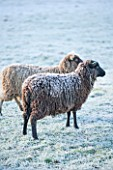 HIGHFIELD HOLLIES, HAMPSHIRE: WINTER - CHRISTMAS - FROSTY SHETLAND SHEEP MAGIC AND MISCHIEF IN FIELD. ANIMAL, ANIMALS, PET, PETS