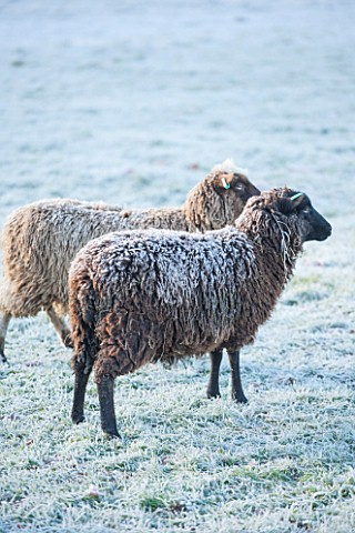 HIGHFIELD_HOLLIES_HAMPSHIRE_WINTER__CHRISTMAS__FROSTY_SHETLAND_SHEEP_MAGIC_AND_MISCHIEF_IN_FIELD_ANI