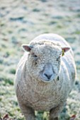 HIGHFIELD HOLLIES, HAMPSHIRE: WINTER - CHRISTMAS - FROSTY SOUTHDOWN SHEEP IN FIELD. ANIMAL, ANIMALS, PET, PETS