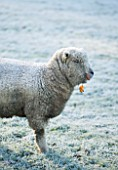 HIGHFIELD HOLLIES, HAMPSHIRE: WINTER - CHRISTMAS - FROSTY SOUTHDOWN EWE LAMB IN FIELD. ANIMAL, ANIMALS, PET, PETS