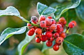 HIGHFIELD HOLLIES, HAMPSHIRE: WINTER - CHRISTMAS - CLOSE UP PLANT PORTRAIT OF RED BERRIES OF HOLLY - ILEX AQUIFOLIUM PYRAMIDALIS, SHRUB, BERRY, FROST, WINTER, DECEMBER