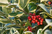 HIGHFIELD HOLLIES, HAMPSHIRE: CHRISTMAS - CLOSE UP PLANT PORTRAIT OF RED BERRIES OF HOLLY - ILEX X ALTACLARENSIS HOWICK, SHRUB, BERRY, FROST, WINTER, DECEMBER, VARIEGATED