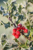 HIGHFIELD HOLLIES, HAMPSHIRE: CHRISTMAS, CLOSE UP PLANT PORTRAIT OF RED BERRIES OF HOLLY - ILEX CORNUTA X PERNYI, WINTER, DECEMBER, FOLIAGE, GREEN, FROST, FROSTY, SPIKES, PRICKLY