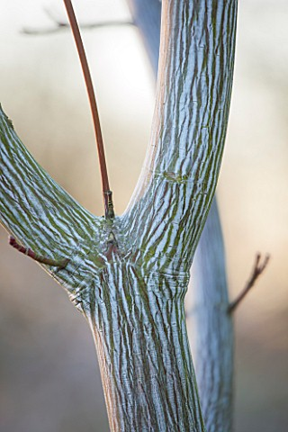 CLOSE_UP_PLANT_PORTRAIT_OF_BARK_OF_SNAKE_BARK_MAPLE__ACER_DAVIDII_VIPER__MINDAVI__TEXTURE_TREE_TREES