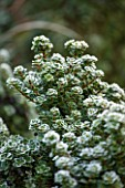 CLOSE UP PLANT PORTRAIT OF THE FROSTED LEAVES OF ILEX CRENATA DAWRF PAGODA. FROST, FROSTY, WINTER, JANUARY, LEAVES, GREEN, HOLLY, HOLLIES, FOLIAGE, EVERGREEN