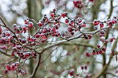 CLOSE UP PLANT PORTRAIT OF THE RED FRUITS OF PARROTIA PERSICA VANESSA. SHRUB, SHRUBS, TREE, TREES, WINTER, JANUARY, PERSIAN, IRONWOOD