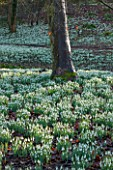 PAINSWICK ROCOCO GARDEN, GLOUCESTERSHIRE: WOOD WITH SNOWDROPS. WHITE, FLOWERS, WINTER, JANUARY, GALANTHUS, WOODLAND, DRIFTS, GARDEN