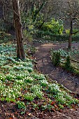 PAINSWICK ROCOCO GARDEN, GLOUCESTERSHIRE: WOOD WITH SNOWDROPS. WHITE, FLOWERS, WINTER, JANUARY, GALANTHUS, WOODLAND, DRIFTS, GARDEN, PATH, PATHS