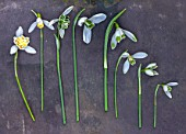 HILL CLOSE GARDENS, WARWICK: SNOWDROPS ON SLATE - FROM LEFT - GALANTHUS LADY ELPHINSTONE, BLONDE INGE, RODMARTON, MELANIE BROUGHTON, VIRIDIPICE, CURLY, HILL POE, NIVALIS
