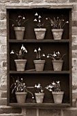 HILL CLOSE GARDENS, WARWICK: BLACK AND WHITE IMAGE OF WOODEN SNOWDROP THEATRE AGAINST WALL. GALANTHUS, WINTER, FORMAL, CLASSIC, TERRACOTTA, CONTAINERS, POTS