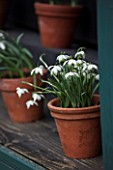 HILL CLOSE GARDENS, WARWICK: TERRACOTTA CONTAINER IN SNOWDROP THEATRE - GALANTHUS NIVALIS PUSEY GREEN TIPS