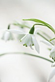 HILL CLOSE GARDENS, WARWICK: CLOSE UP PLANT PORTRAIT OF THE WHITE FLOWER OF SNOWDROP - GALANTHUS LADY BEATRIX STANLEY - FEBRUARY, WINTER, SPRING, PETALS, BULBS, GREEN
