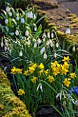 COLESBOURNE PARK, GLOUCESTERSHIRE: PLANT COMBINATION, ASSOCIATION OF GALANTHUS BLONDE INGE AND NARCISSUS NAVARRE. FLOWERS, WHITE, YELLOW, FEBRUARY, DAFFODIL