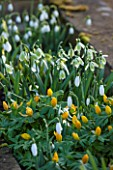 COLESBOURNE PARK, GLOUCESTERSHIRE: PLANT COMBINATION, ASSOCIATION OF GALANTHUS GREEN TEAR AND ERANTHIS HYEMALIS. FLOWERS, WHITE, YELLOW, FEBRUARY, DAFFODIL, MOSS, ACONITES
