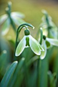 COLESBOURNE PARK, GLOUCESTERSHIRE: CLOSE UP PLANT PORTRAIT OF THE GREEN AND WHITE FLOWER OF GALANTHUS GREEN TEAR. SNOWDROP, BULB, LATE WINTER, EARLY SPRING, FEBRUARY