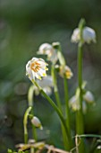 COLESBOURNE PARK, GLOUCESTERSHIRE: CLOSE UP PLANT PORTRAIT OF THE GREEN AND WHITE FLOWERS OF 12 PETALLED LEUCOJUM VERNUM. BULB, LATE WINTER, EARLY SPRING, FEBRUARY