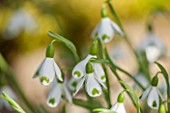 COLESBOURNE PARK, GLOUCESTERSHIRE: CLOSE UP PLANT PORTRAIT OF THE WHITE AND GREEN FLOWERS OF A SNOWDROP - GALANTHUS PLICATUS TOMOKO. BULB, WINTER, EARLY SPRING, FEBRUARY