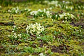 ABLINGTON MANOR, GLOUCESTERSHIRE: MOSS AND PRIMROSES ON THE GROUND. PRIMULA VULGARIS