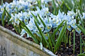 ABLINGTON MANOR, GLOUCESTERSHIRE: LEAD CONTAINER WITH IRIS RETICULATA KATHERINE HODGKIN. BLUE, FLOWERS, FLOWER, LATE WINTER, EARLY SPRING, FEBRUARY, BULB
