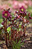 ABLINGTON MANOR, GLOUCESTERSHIRE: CLOSE UP PLANT PORTRAIT OF THE DARK RED , PINK FLOWERS OF HELLEBORE - HELLEBORUS ANNAS RED, PERENNIALS, FEBRUARY, EARLY SPRING, LATE WINTER