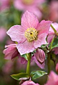 ABLINGTON MANOR, GLOUCESTERSHIRE: CLOSE UP PLANT PORTRAIT OF THE PINK FLOWERS OF HELLEBORE - HELLEBORUS WARBURTON ROSEMARY, PERENNIALS, FEBRUARY, EARLY SPRING, LATE WINTER