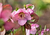 ABLINGTON MANOR, GLOUCESTERSHIRE: CLOSE UP PLANT PORTRAIT OF THE DEEP PINK FLOWERS OF HELLEBORE - HELLEBORUS ORIENTALIS MADAME LEMONNIER. PERENNIALS, FEBRUARY, EARLY SPRING