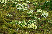 ABLINGTON MANOR, GLOUCESTERSHIRE: WOODLAND WITH MOSS AND YELLOW PRIMROSES. SHADE, SHADY, PRIMULA, VULGARIS, SPRING, FLOWERS, YELLOW