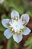 AVONDALE NURSERIES, COVENTRY: CLOSE UP PLANT PORTRAIT OF THE YELLOW, GREY AND WHITE FLOWER OF ANEMONE NEMEROSA SALT & PEPPER. WOOD ANEMONE, PERENNIAL, WINDFLOWER, SPRING