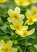 AVONDALE NURSERIES, COVENTRY: CLOSE UP PLANT PORTRAIT OF THE YELLOW FLOWERS OF ANEMONE X LIPSIENSIS VINDOBONENSIS. WOOD ANEMONE, PERENNIAL, WINDFLOWER, SPRING