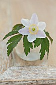 AVONDALE NURSERIES, COVENTRY: CLOSE UP PLANT PORTRAIT OF WHITE AND PINK FLOWER OF ANEMONE NEMEROSA LIONEL BACON IN A GLASS CONTAINER. WOOD ANEMONE, PERENNIAL, WINDFLOWER
