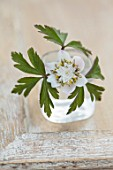 AVONDALE NURSERIES, COVENTRY: CLOSE UP PLANT PORTRAIT OF WHITE, YELLOW AND GREY FLOWER OF ANEMONE NEMEROSA SALT & PEPPER. GLASS CONTAINER. WOOD ANEMONE, PERENNIAL, WINDFLOWER