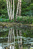 MORTON HALL, WORCESTERSHIRE: SPRING. THE POND WITH REFLECTION OF BIRCH TREES ACROSS THE WATER. POOL, REFLECTIONS, REFLECTED, WOODLAND