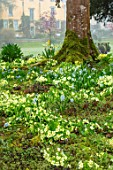 ABLINGTON MANOR, GLOUCESTERSHIRE: PRIMROSES ON BANK WITH THE MANOR HOUSE BEHIND. COUNTRY, GARDEN, SPRING, PUSCHKINIA SCILLOIDES, BLOOMS, BULBS, YELLOW, FLOWERS, PRIMULA VULGARIS