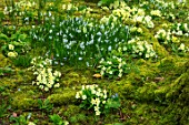ABLINGTON MANOR, GLOUCESTERSHIRE: WOODLAND WITH YELLOW PRIMROSES, MOSS AND PUSCHKINIA SCILLOIDES. SHADE, SHADY, PRIMULA, VULGARIS, BULBS, FLOWERS, BLOOMS