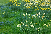 ABLINGTON MANOR, GLOUCESTERSHIRE: GRAS WITH SCILLAS AND DAFFODILS. NARCISSUS, NARCISSI, BULBS, FLOWERS, BLOOMS, LAWN