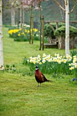 ABLINGTON MANOR, GLOUCESTERSHIRE: LAWN WITH NARCISSUS, BIRCH AND PHEASANT. SPRING, ENGLISH, GARDEN, COUNTRY, DAFFODILS