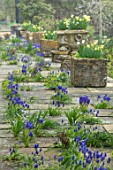 ABLINGTON MANOR, GLOUCESTERSHIRE: STONE TERRACE WITH GRAPE HYACINTHS GROWING BETWEEN CRACKS. MUSCARI, SPRING, ENGLISH, GARDEN, COUNTRY, DAFFODILS, STONE, TROUGH, PATIO