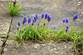 ABLINGTON MANOR, GLOUCESTERSHIRE: STONE TERRACE WITH GRAPE HYACINTHS GROWING BETWEEN CRACKS. MUSCARI, SPRING, ENGLISH, GARDEN, COUNTRY