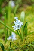 ABLINGTON MANOR, GLOUCESTERSHIRE: CLOSE UP PLANT PORTRAIT OF THE BLUE AND WHITE FLOWER OF PUSCHKINIA SCILLOIDES. SPRING, BULBS, BLOOM, BULB