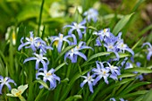 ABLINGTON MANOR, GLOUCESTERSHIRE: CLOSE UP PLANT PORTRAIT OF THE BLUE AND WHITE FLOWERS OF CHIONODOXA LUCILIAE. SPRING, BULBS, BLOOM, BULB, GLORY OF THE SNOW