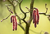 ABLINGTON MANOR, GLOUCESTERSHIRE: CLOSE UP PLANT PORTRAIT OF THE RED CATKINS OF CORYLUS AVALLENA CONTORTA RED MAJESTIC. SPRING, BULBS, BLOOM, BULB, HAZELNUT, SHRUB, TASSLE