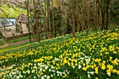 ABLINGTON MANOR, GLOUCESTERSHIRE: DAFFODILS ON THE HILLSIDE ABOVE THE MANOR. NARCISSUS, NARCISSI, SPRING, FLOWERS, YELLOW, BLOOMS, COUNTRY, GARDEN, ENGLISH