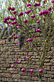 FELLEY PRIORY, NOTTINGHAMSHIRE: WALLED GARDEN WITH PINK MAGNOLIA BLACK TULIP. TREE, SPRING, ENGLISH, COUNTRY, GARDEN, FLOWERS, BLOOMS