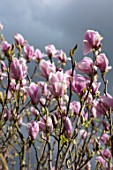 FELLEY PRIORY, NOTTINGHAMSHIRE: PINK FLOWERS OF MAGNOLIA CHARLES COATES. TREE, SPRING, ENGLISH, COUNTRY, GARDEN, BLOOMS