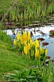FELLEY PRIORY, NOTTINGHAMSHIRE: POND WITH SKUNK CABBAGE - LYSICHITON AMERICANUS. AGM, SKUNK, CABBAGE, MARGINAL, AQUATIC, SPRING, APRIL, PERENNIAL, FLOWER, FLOWERS