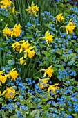 FELLEY PRIORY, NOTTINGHAMSHIRE: PLANT COMBINATION, ASSOCIATION OF NARCISSUS RIP VAN WINKLE AND FORGET-ME-NOTS. YELLOW, BLUE, FLOWERS, PETALS, BLOOMS, BULB, BULBS