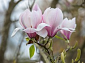 FELLEY PRIORY, NOTTINGHAMSHIRE: PINK FLOWERS OF MAGNOLIA DENUDATA FORRESTS PINK. TREE, SPRING, ENGLISH, COUNTRY, GARDEN, BLOOMS