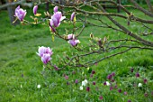 FELLEY PRIORY, NOTTINGHAMSHIRE: PINK FLOWERS OF MAGNOLIA CHARLES COATES WITH SNAKES HEAD FRITILLARIES BELOW. FRITILLARIA MELEAGRIS. TREE, SPRING, ENGLISH, COUNTRY, GARDEN, BLOOMS